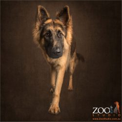 striding young german shepherd