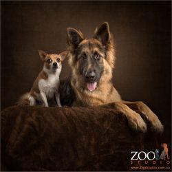 chihuahua sitting with german shepherd