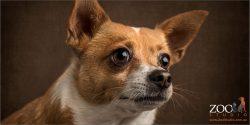 close up face chihuahua