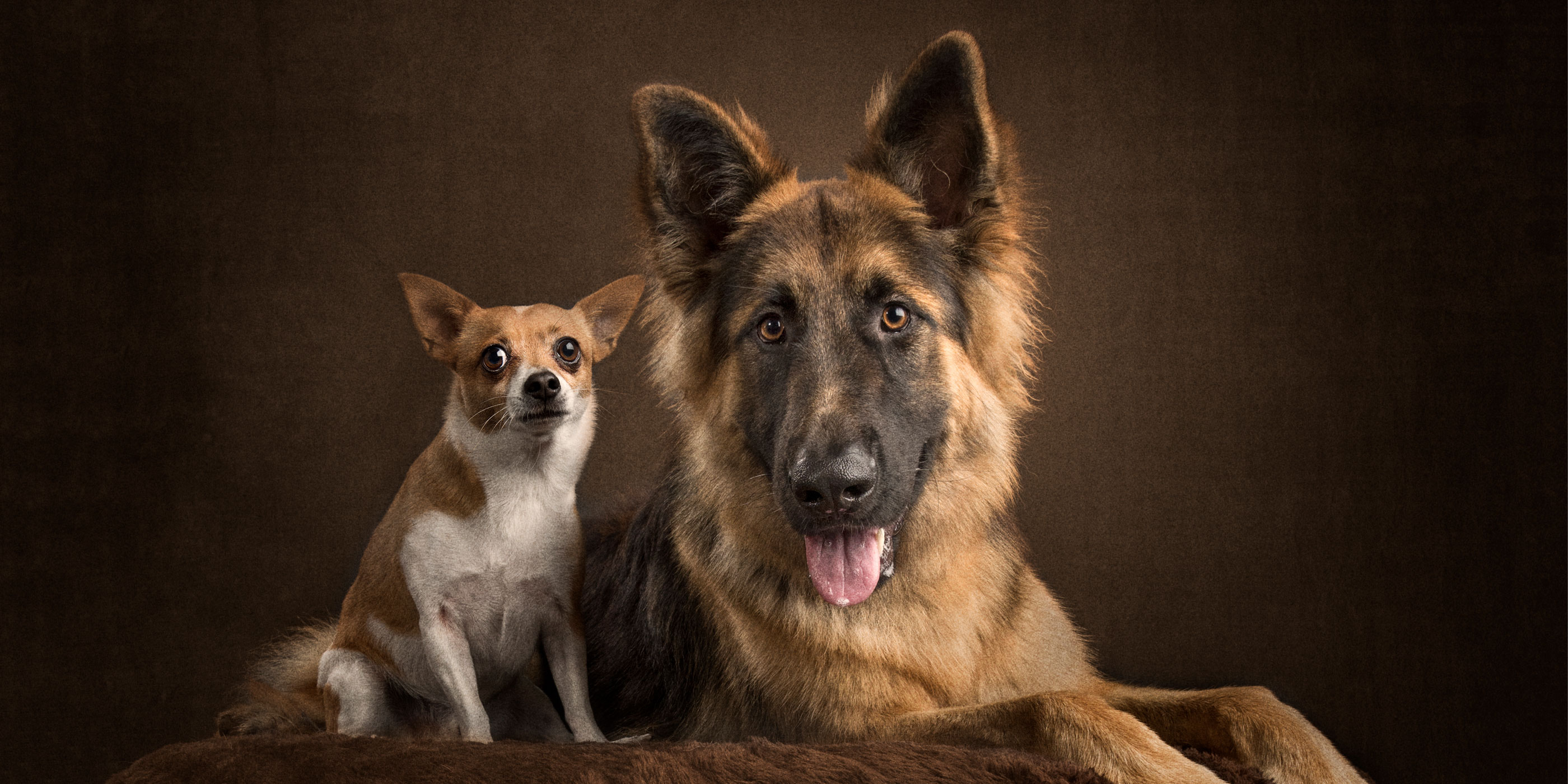 tan and white chihuahua with tongue out german shepherd
