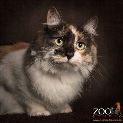 tortoise shell cat couching
