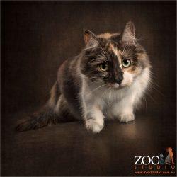 stalking tortoise shell domestic cat