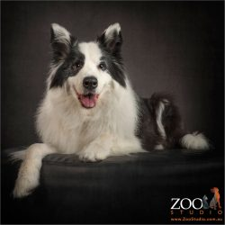 handsome border collie in sitting pose