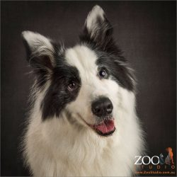 happy smiling black and white border collie