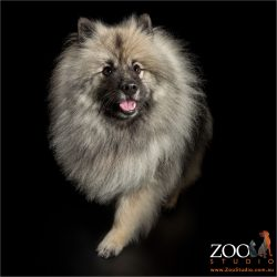 running grey/black keeshond