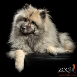 fluffy grey black keeshond lying down