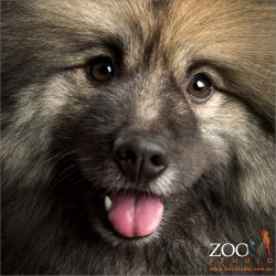big smile full face shot keeshond