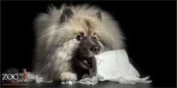 cheeky keeshond stealing toilet paper