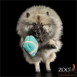 grey black keeshond chasing blue soft toy