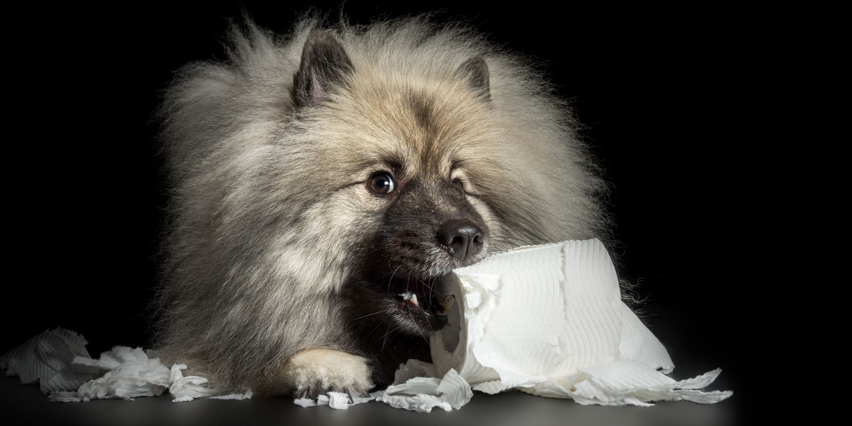 toilet paper chewing keeshond