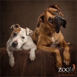 head tilting pair staffy and french mastiff