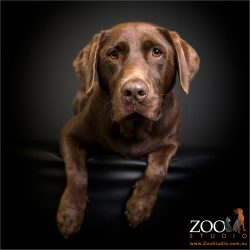 looking right at you chocolate lab