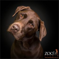 head tilt chocolate labrador