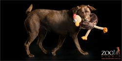 chicken munching chocolate labrador