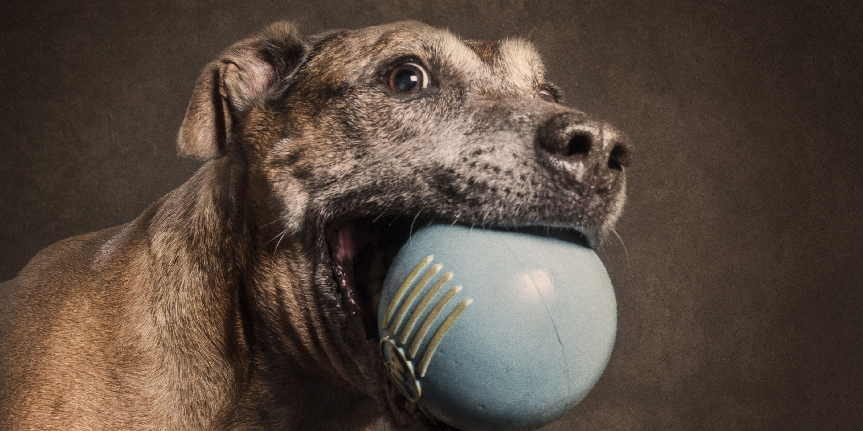 large blue ball in mouth ridgeback staffy cross