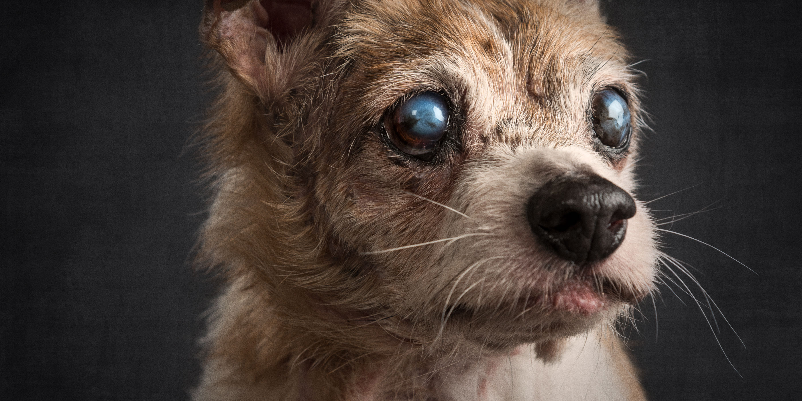 life scarred old jack russell