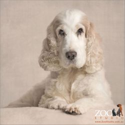 elegant and regal pose white cocker spaniel