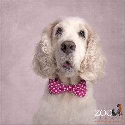 pretty white cocker spaniel in pink polka dot bow tie