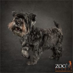 prancing black west highland terrier cross