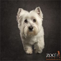 walking white west highland terrier