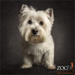 cute faced west highland terrier