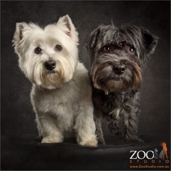 fursisters white westie and black westie cross