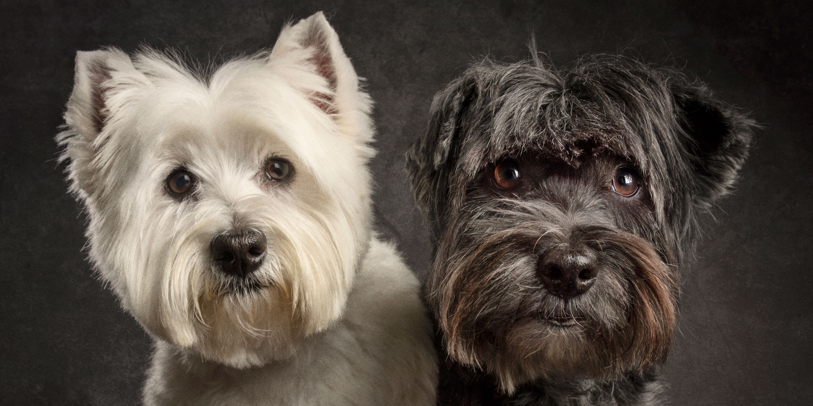 white westie with black westie yorkie cross