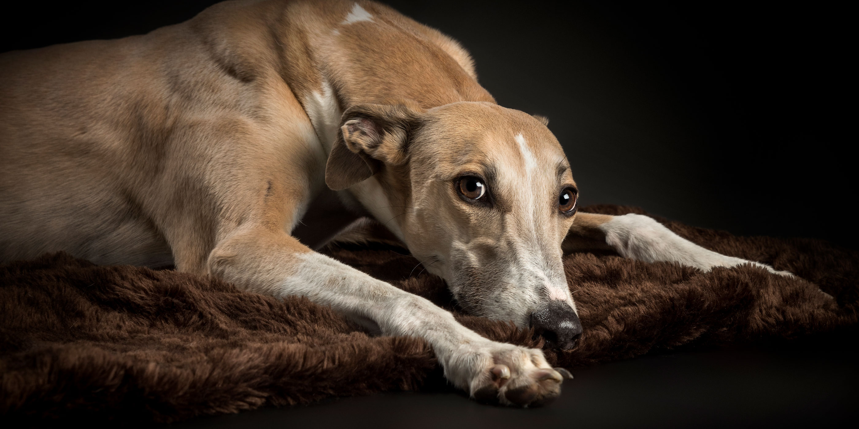 greyhound lying on brown blanket