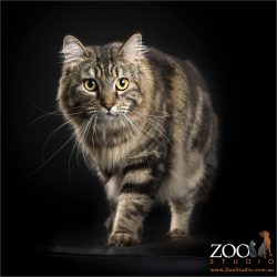 maine coon cross cat walking