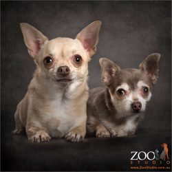 pair of chihuahuas - fawn and plum coloured