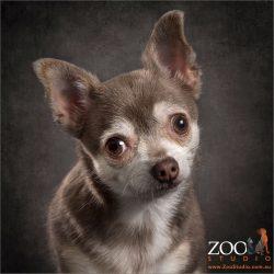 radar eared small chihuahua