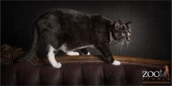 black and white domestic cat walking on couch