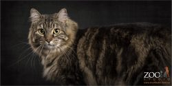 brown and white maine coon cross cat
