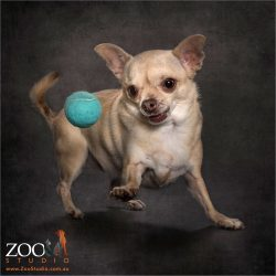 fawn chihuahua chasing blue ball