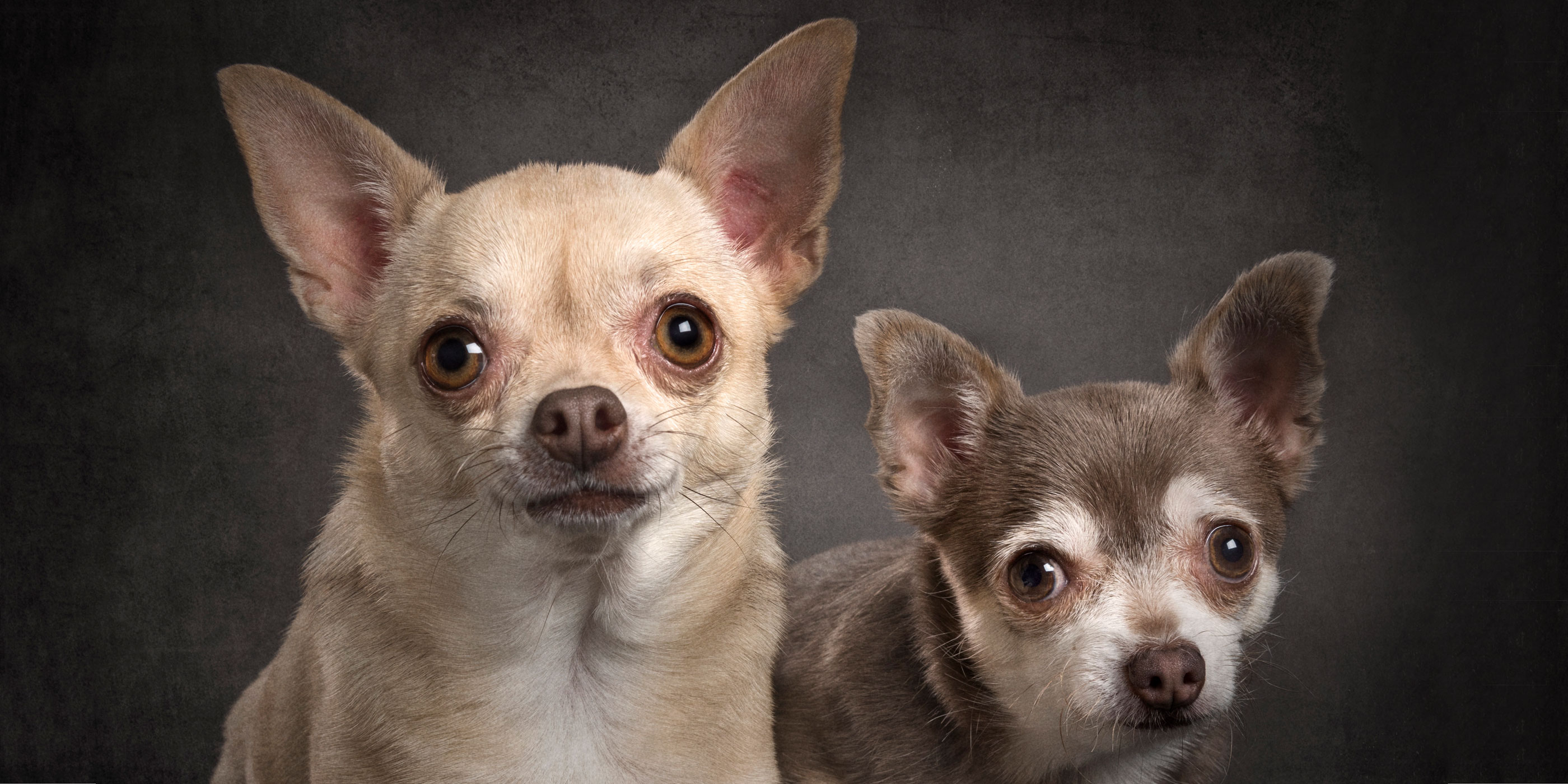 pair of chihuahuas sitting close together