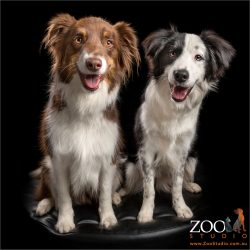 pair of smiling border collies brown & white and black & white