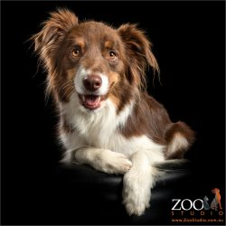 laid back brown and white border collie