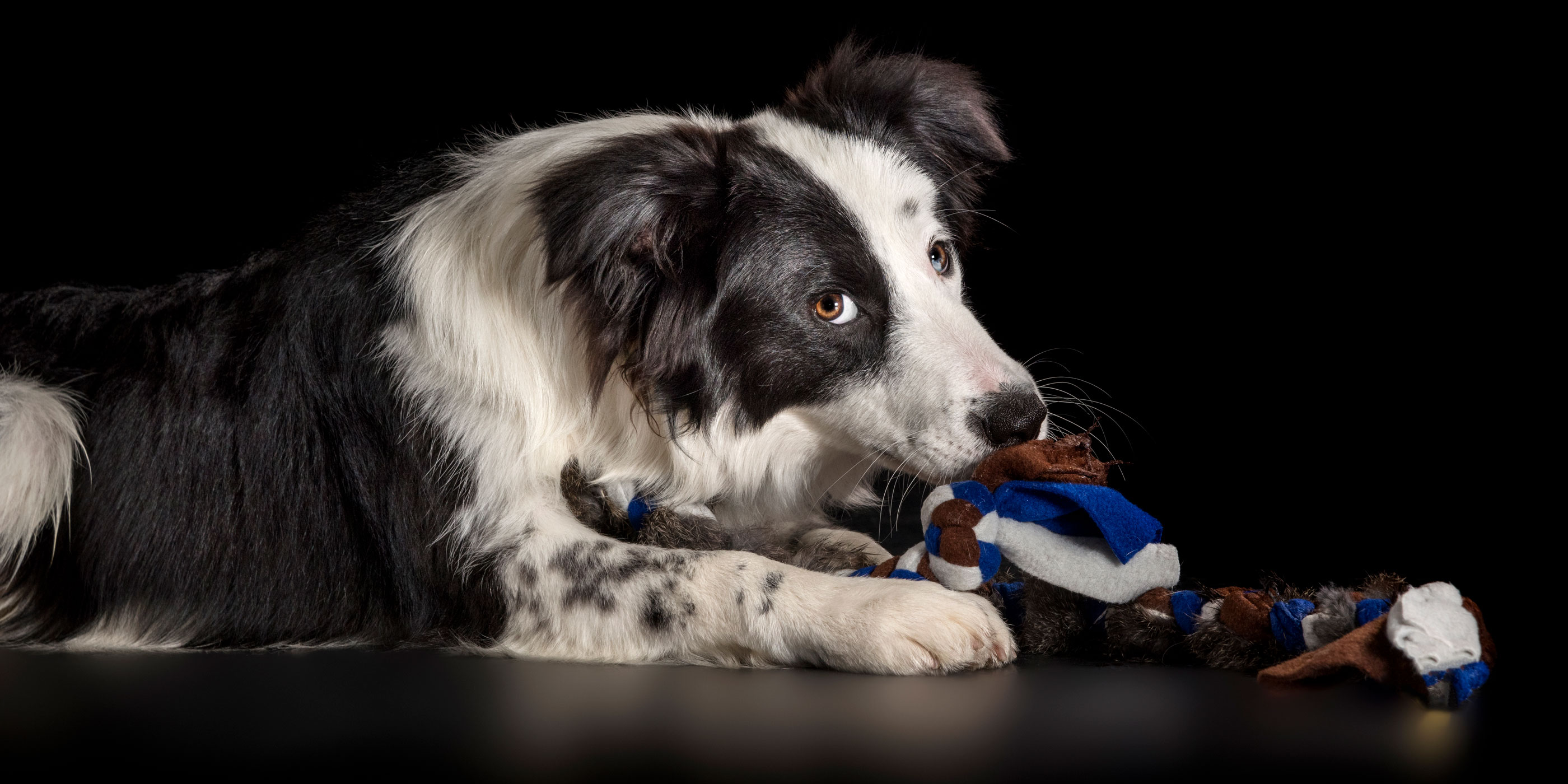 cheeky looking black and white border collie chewing on toy