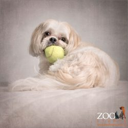 tri colour shih tzu maltese cross with large ball in mouth