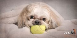 shih tzu maltese resting with yellow ball