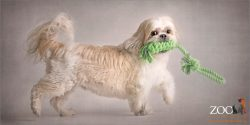 tri colour maltese cross running with rope toy