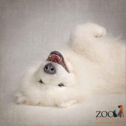white samoyed puppy lying on back and smiling