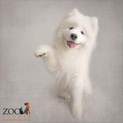 smiling white samoyed puppy asking to shake