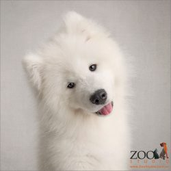 head tilting and smiling pure white samoyed puppy