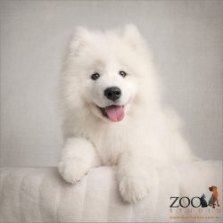 regal sitting pose smiling white samoyed puppy