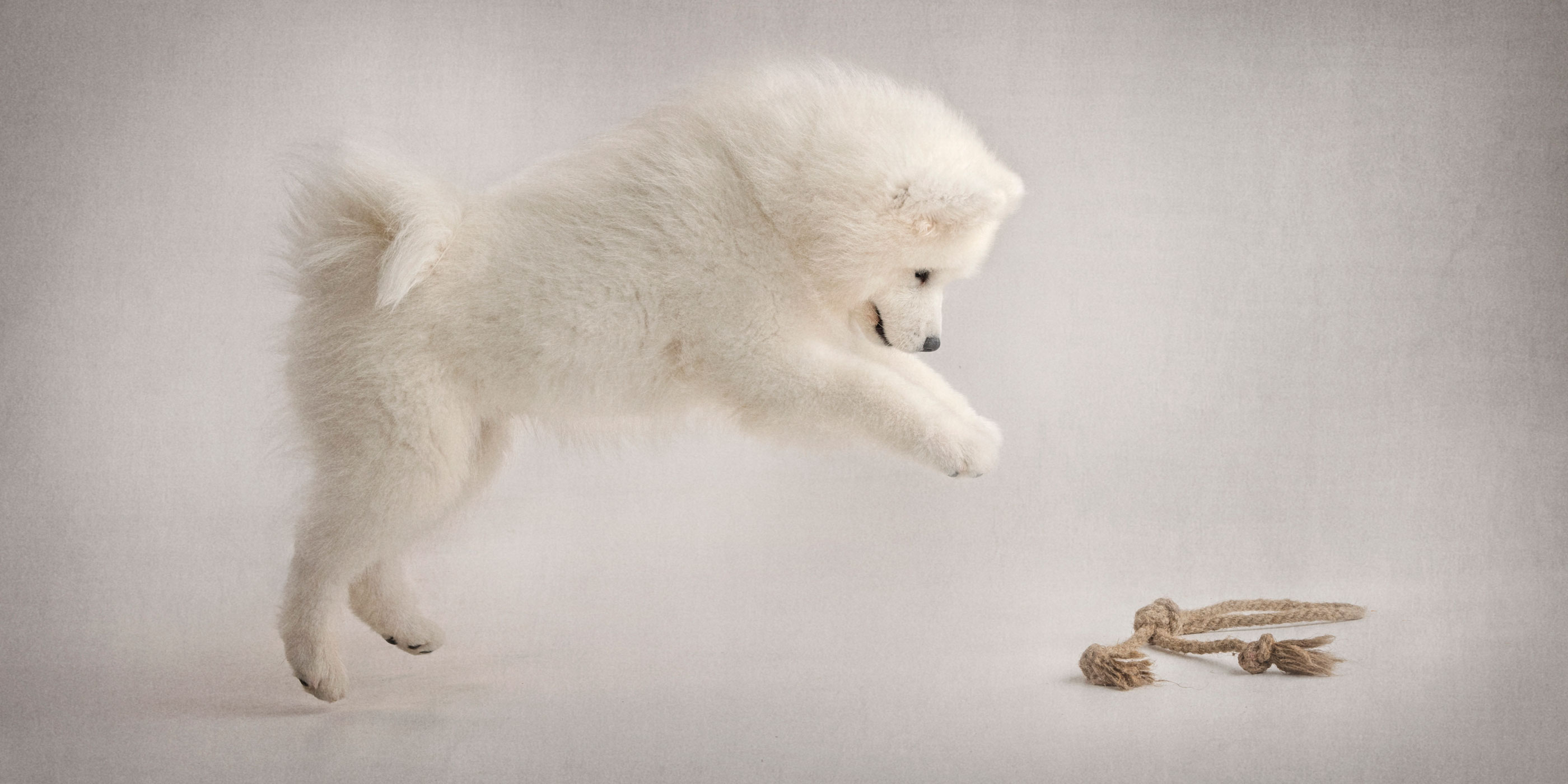 leaping for a toy white samoyed puppy