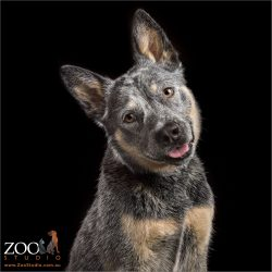 smiling head tilting blue cattle dog