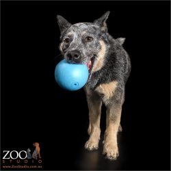 blue cattle dog running with large blue ball in mouth