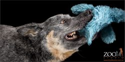 blue cattle dog playing toy of war with soft toy