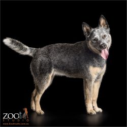 standing profile of young blue cattle dog